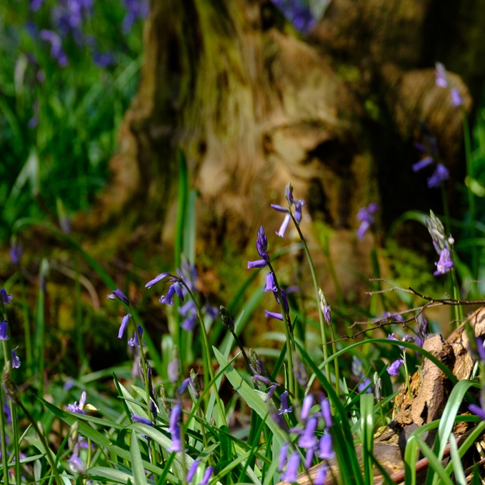 Blubells at Rutland Water