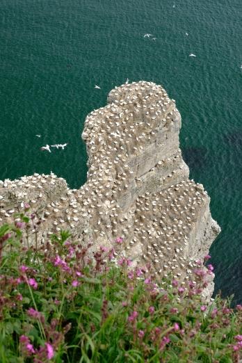 Gannets - RSPB Bempton